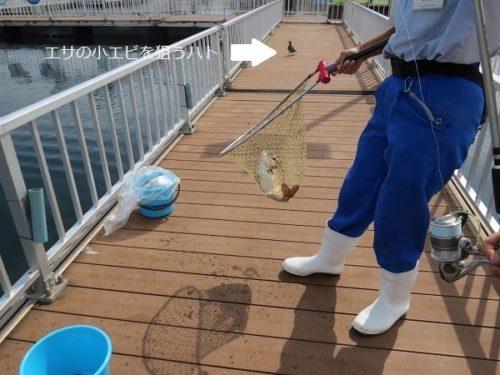 八景島シーパラダイス「うみファーム」で釣り上げたマダイ