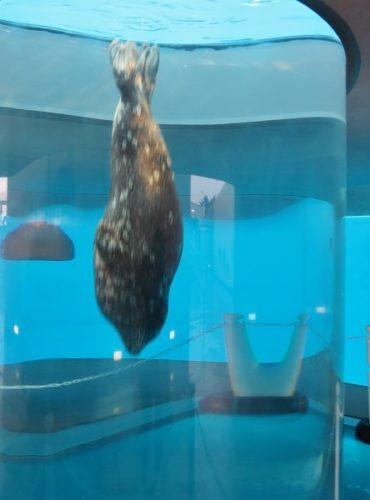 八景島シーパラダイス「ふれあいラグーン」の円柱型水槽を泳ぐゴマフアザラシ