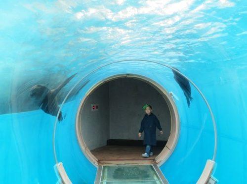 八景島シーパラダイス「ふれあいラグーン」のアシカが泳ぐトンネル型水槽