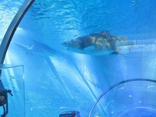 八景島シーパラダイス「アクアミュージアム」の大水槽内を上るエスカレーターから見えるサメ