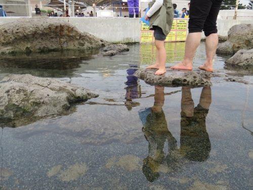 八景島シーパラダイス「ふれあいラグーン」で魚を観察できる磯プール