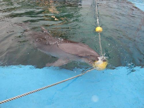八景島シーパラダイス「ふれあいラグーン」で遊ぶイルカ