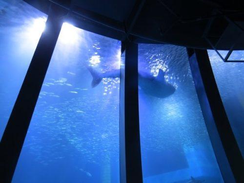 八景島シーパラダイス「アクアミュージアム」の大水槽を悠々と泳ぐジンベエザメ