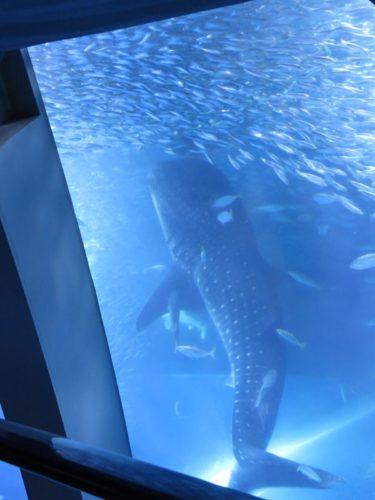 八景島シーパラダイス「アクアミュージアム」の大水槽でエサを食べるために立ち泳ぎするジンベエザメ