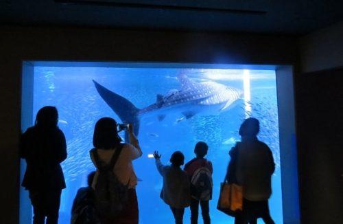 八景島シーパラダイス「アクアミュージアム」の大水槽で泳ぐジンベエザメ