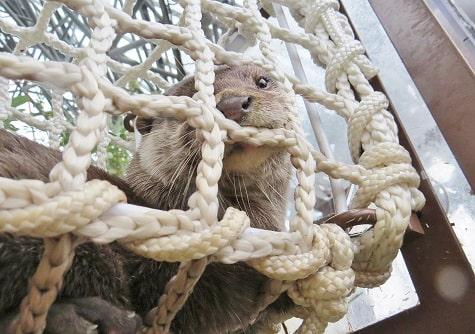 八景島シーパラダイス「アクアミュージアム」内のフォレストリウムにいるコツメカワウソ