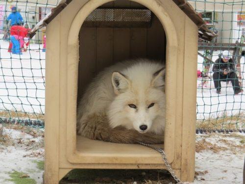 白樺リゾートのキッズゲレンデ「ポタスノーランド」ふれあい動物広場にいる白いキタキツネ