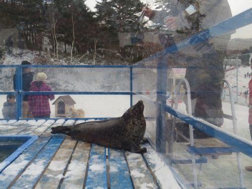 白樺リゾートのキッズゲレンデ「ポタスノーランド」ふれあい動物広場でゴマフアザラシにエサをあげる