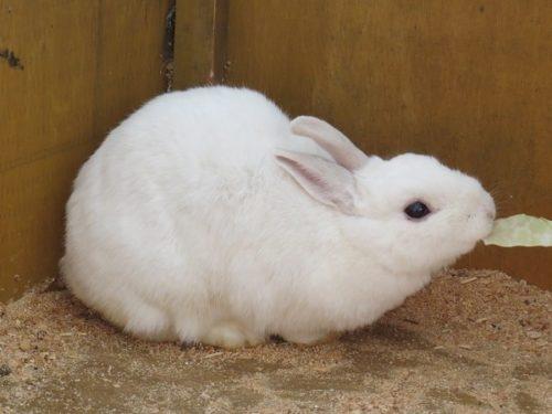 白樺リゾートのキッズゲレンデ「ポタスノーランド」ふれあい動物広場にいるウサギにエサのキャベツをあげる