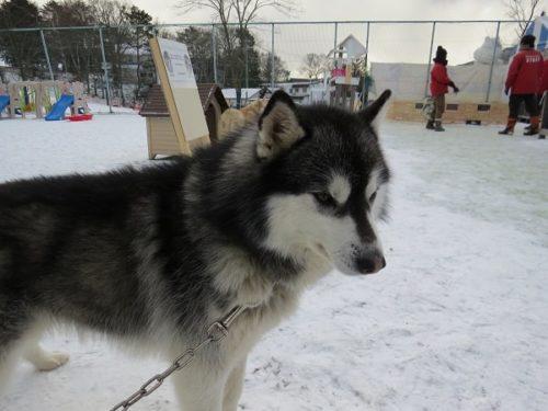 白樺リゾートのキッズゲレンデ「ポタスノーランド」ふれあい動物広場のシベリアンハスキー