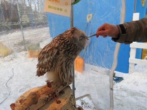 白樺リゾートのキッズゲレンデ「ポタスノーランド」ふれあい動物広場でフクロウ(ウラルオウル)にエサをあげる
