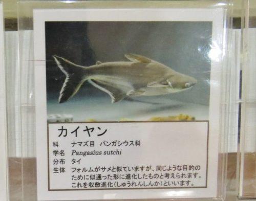 蓼科アミューズメント水族館の魚説明パネル(カイヤン)