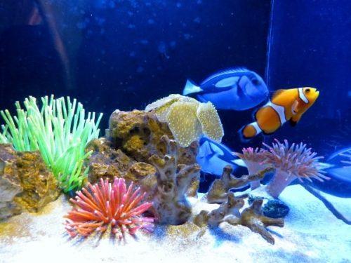 蓼科アミューズメント水族館唯一の海水魚展示(カクレクマノミとナンヨウハギ)
