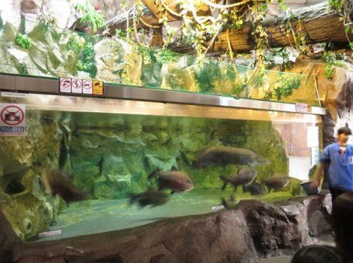蓼科アミューズメント水族館のピラルク水槽