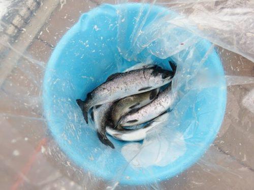 八景島シーパラダイス「うみファーム」で釣り上げたギンザケ