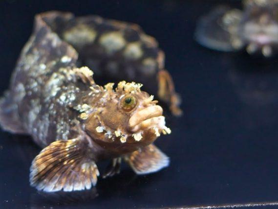 八景島シーパラダイスの新展示エリア「オホーツクの海と表情豊かな生きものたち」で展示予定のフサギンポ(イメージ)