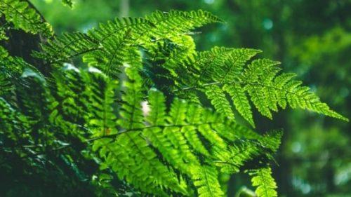 日焼け止めサプリの主成分「ファーンブロック」の原料になるシダ植物(イメージ)