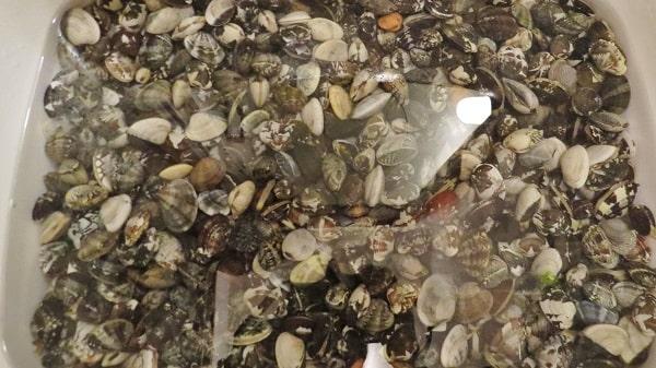 横浜「海の公園」の潮干狩りで採ったアサリ