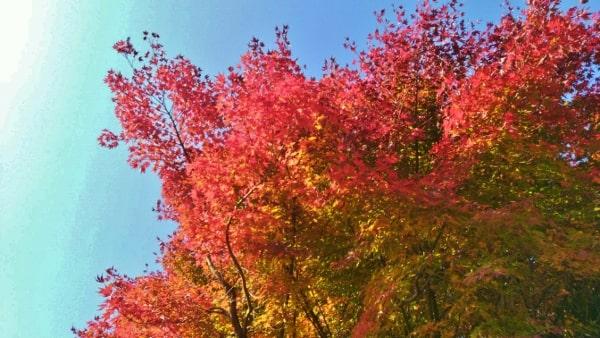 HANA・BIYORI ハナビヨリ聖なる森の紅葉